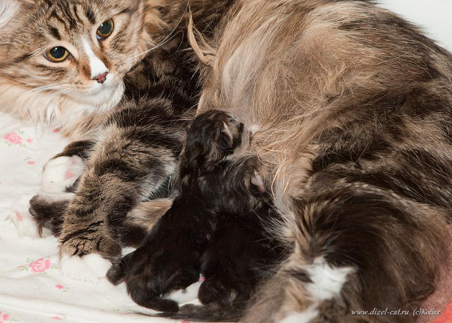 котята сибирская кошка
