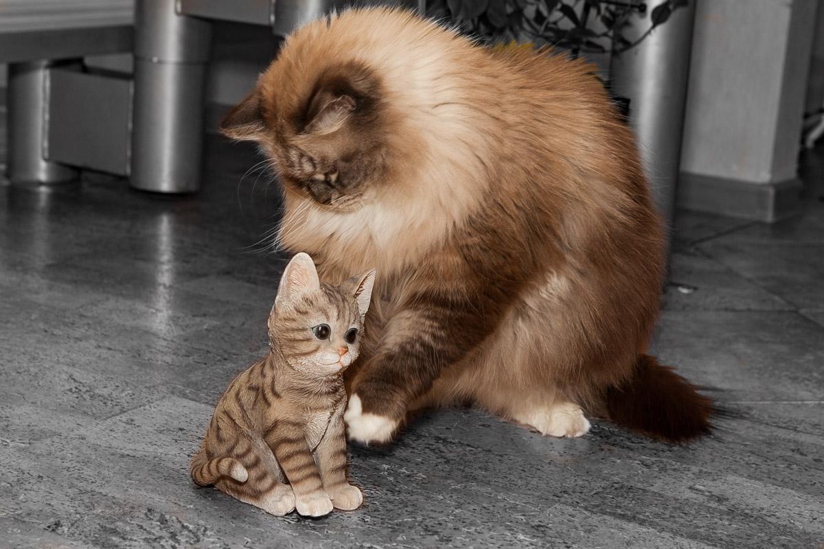 невский маскарадный,  кот сева