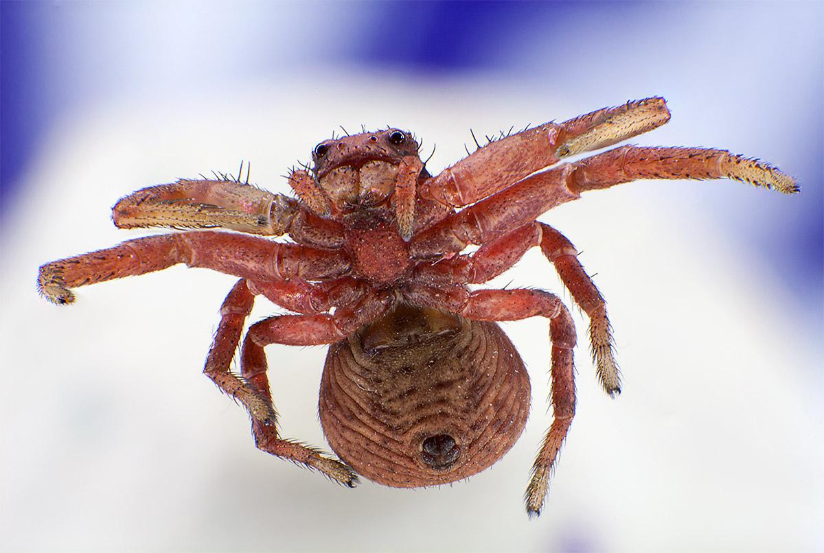 макрофото паука, паук