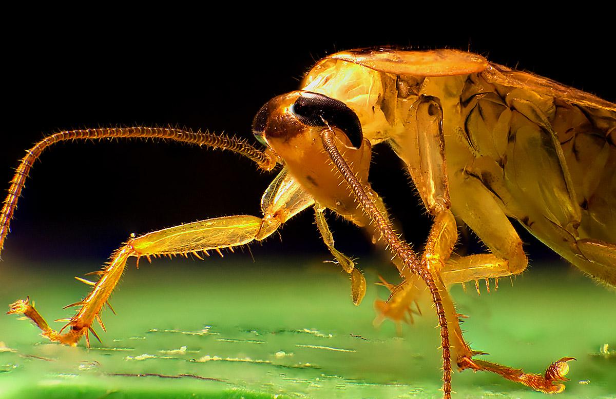макрофото таракан, фото таракана
