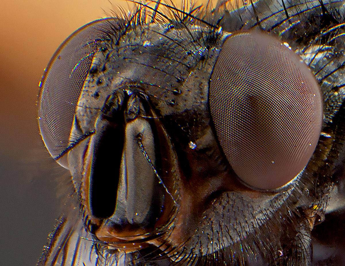 макрофотография, фото мухи