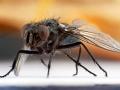макрофото муха