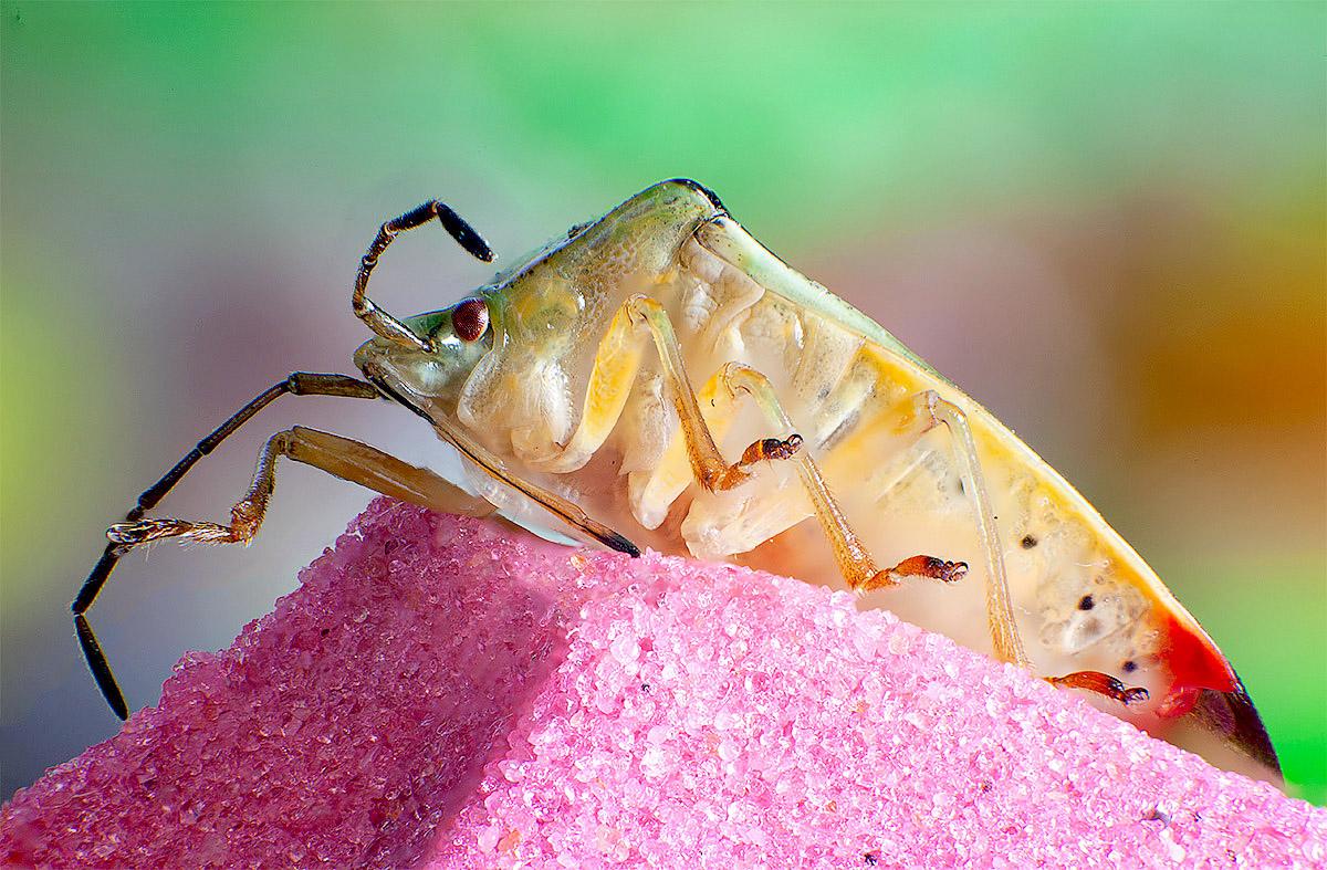 лесной клоп макрофото насекомых