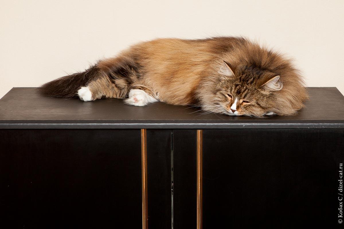 фото сибирская кошка сева лиса