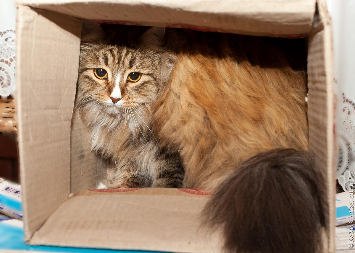 фото сибирская кошка