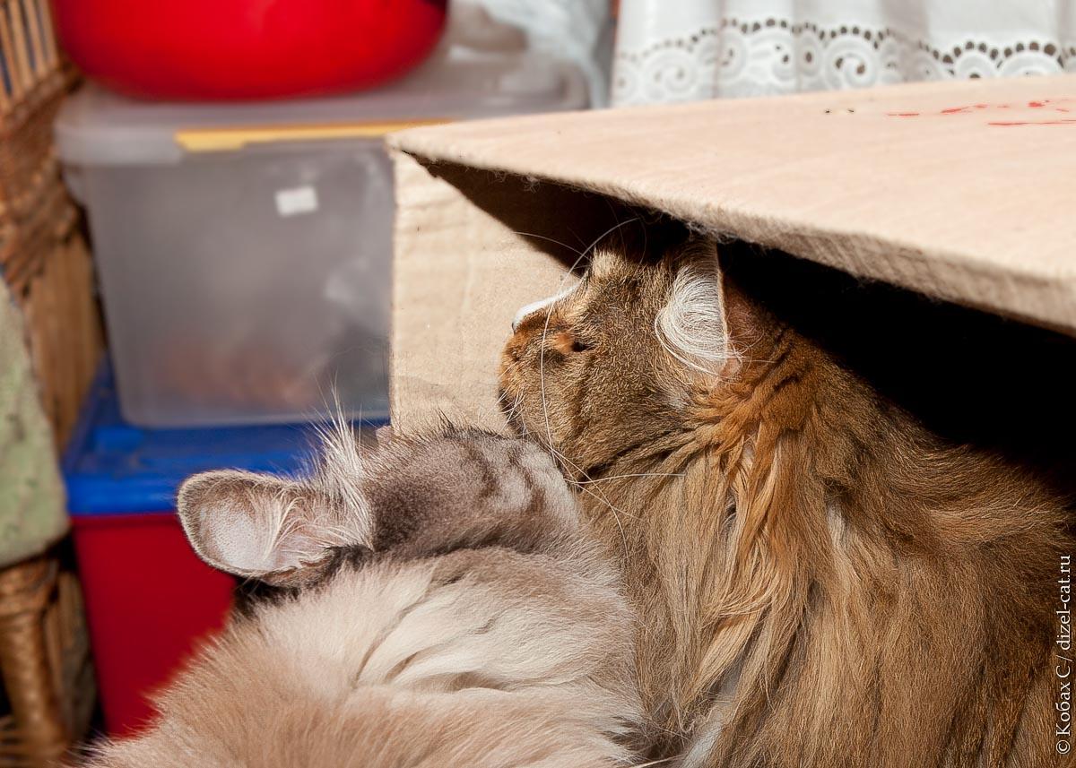 сибирские кошки сева лиса
