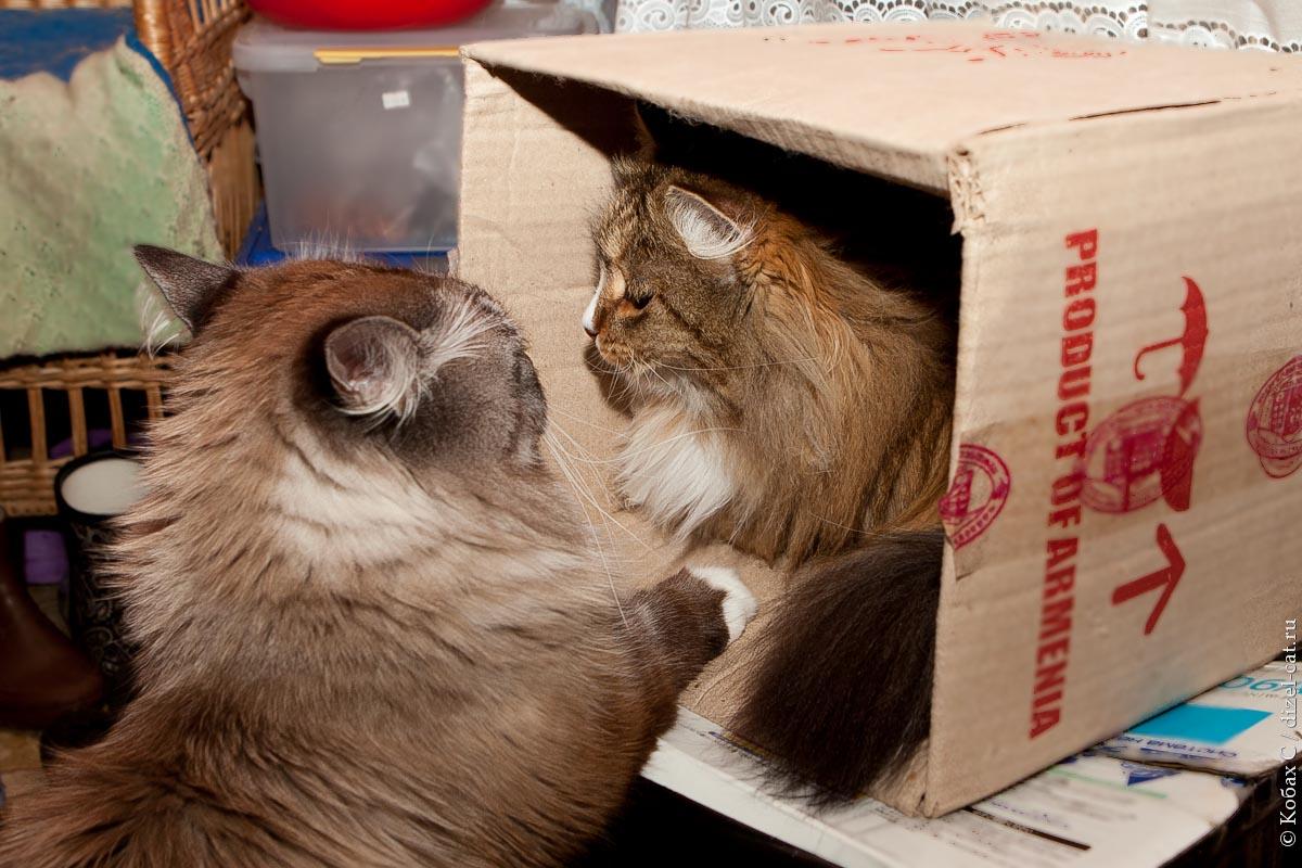 сибирская кошка сева лиса