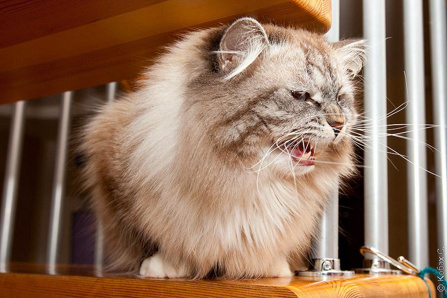 сибирский кот