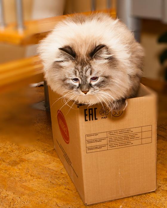 сибирский кот, кот сева, сева лайв,