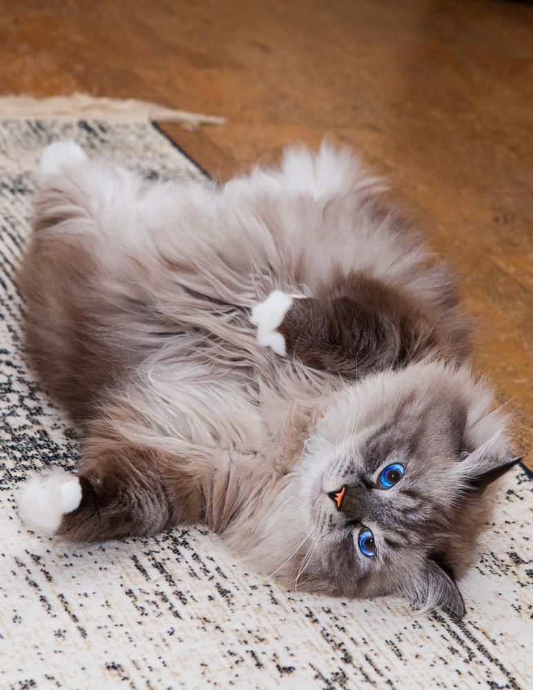 невский маскарадный кот сева